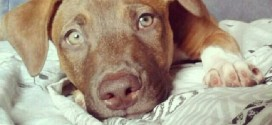 ¿Qué dicen los propietarios de perros de la raza Pitbull?